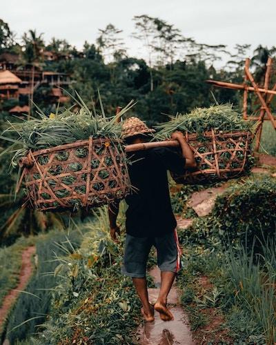 farmer carrying large baskets of crops across terraced farmland in Bali