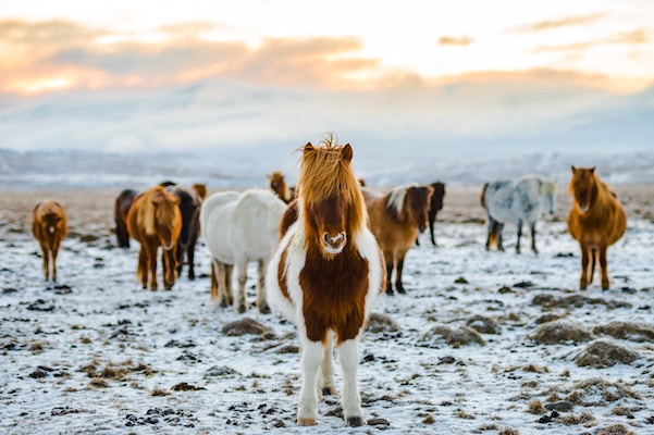 several long-haired, white and brown donkeys on snowy plane